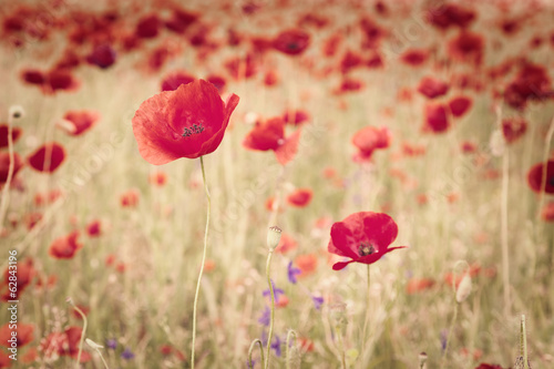 Vintage image of poppies and poppy's seed in the meadow