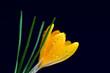 Yellow crocus at dark blue background