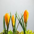 Yellow crocus buds at white background