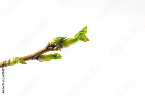 Black currant twig with sprouts