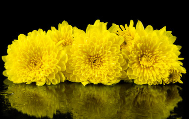 Yellow chrysanthemum on black background.