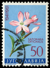 Stamp printed in Yugoslavia shows saponaria