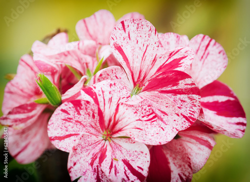 Spring flowers of geranium