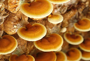 Lingzhi mushrooms