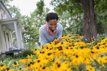 An organic flower garden. A woman bending to cut tall yellow rudbekia flowers.
