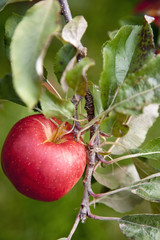 An apple tree with red round fruits, ready for picking. Close up of one apple.