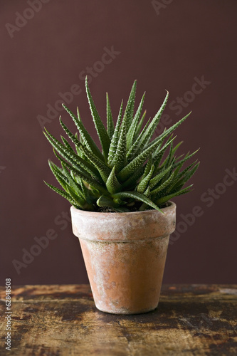 A houseplant cactus succulent with spiky green leaves growing in a pot.
