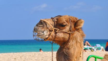 Kamel am Strand
