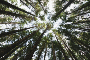 View from below of the tree canopy of the hemlock and spruce temperate rainforest , the Hoh rainforest in Washington USA