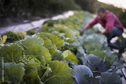 Organic Cabbage Plants in Field