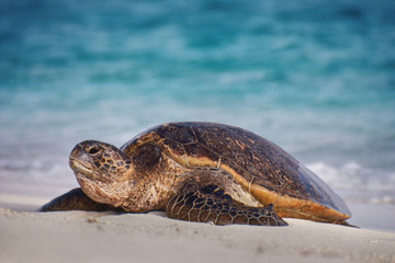 Green sea turtle on beach, Chelonia mydas, Hawaiian Leeward Islands