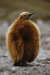 King penguin chick, Aptenodytes patagonicus, South Georgia Island