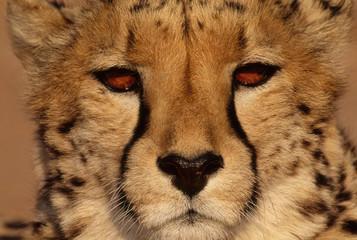 Cheetah, Acinonyx jubatus, Namibia