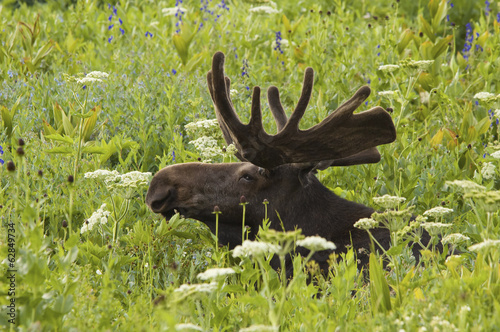 An adult moose. Alces alces. Grazing in the long grass in the Albion basin, of the Wasatch mountains, in Utah.