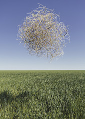 Sagebrush, tumbleweed blowing across a field of growing wheat crop in the farmland around Pullman, Washington, USA