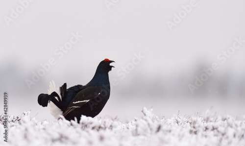 Black Grouse lek on snow
