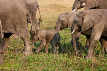 African elephant herd, Botswana