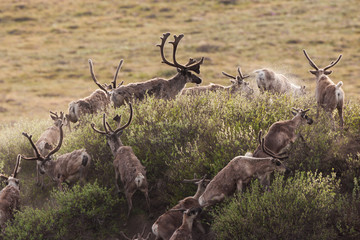 Caribou migrate through the Arctic National Wildlife Refuge, Alaska, USA