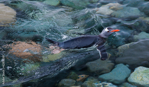 Gentoo penguin swimming in the sea, Antarctica