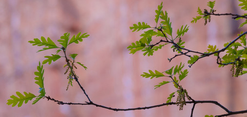 Young leaves of an oak tree, Zion National Park, Utah, Quercus