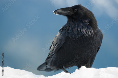 Raven in snow, Corvus corax, Olympic National Park, Washington, USA