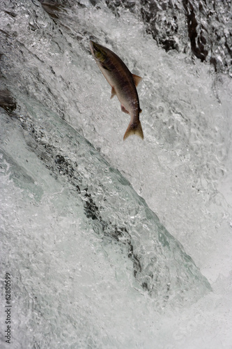 Salmon swimming upstream, Katmai National Park, Alaska, USA
