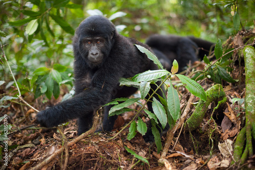 Mountain gorilla juvenile, Volcanoes National Park, Rwanda