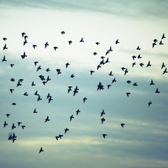 A flock of starlings flying, darting and wheeling across a cloudy sky in Seattle.