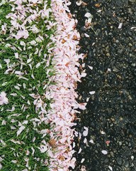 Pink fallen cherry blossom petals blown across the pedestrian sidewalk, collecting on the grass in Seattle in spring.