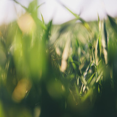 A close up view of a food crop, cultivated wheat growing in a field near Pullman, Washington, USA.