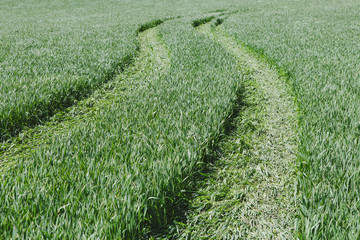 Tire tracks in lush, green field of wheat, near Pullman, flattening the growing crop.