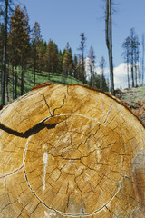 Cross section of cut Ponderosa Pine tree in recently burned forest (from the 2012 Table Mountain fire), Okanogan-Wenatchee NF, near Blewett Pass