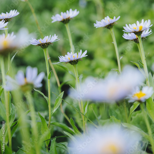 Alpine asters, daisy like flowers in lush green meadow at Mount Rainier national park, in Washington, USA.