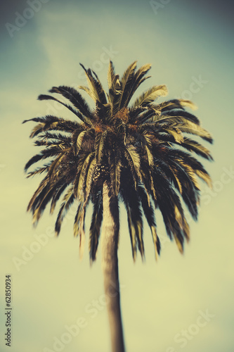 Date palm tree, Monterey