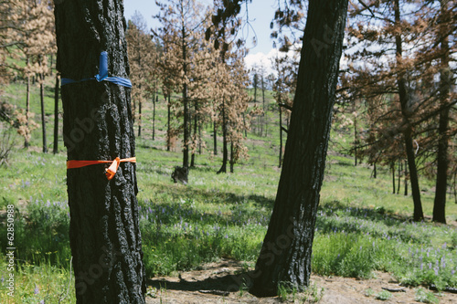 Marked trees for cutting in fire damaged national forest (from the 2012 Table Mountain fire), near Blewett Pass, Okanogan-Wenatchee NF
