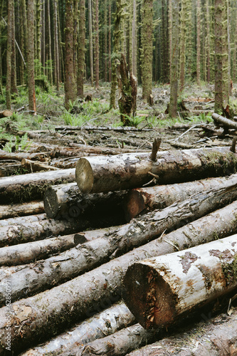 Recently cut logs of Sitka Spruce and Western Hemlock in lush temperate rainforest, Hoh Rainforest, Olympic NF
