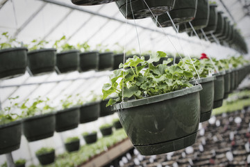 Spring growth in an organic plant nursery. A glasshouse with hanging baskets and plant seedlings.