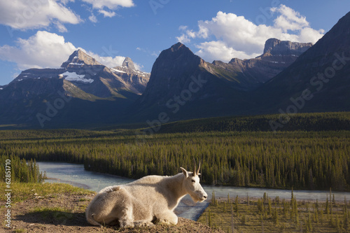 A mountain goat on a small promontory overlooking a river in the Canadian Rockies, Jasper National Park, Alberta, Canada.