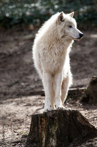 Foto op Canvas Wolf Arctic white wolf