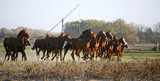 Galloping Herd in the Puszta. Bugac is the hungarian desert.