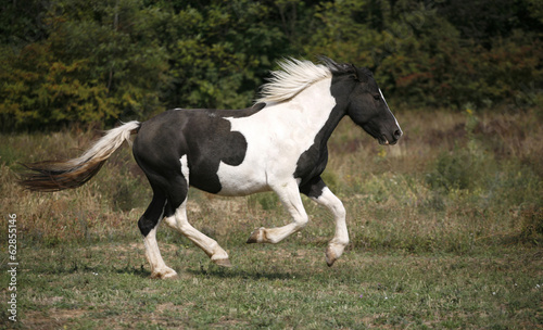 Beautiful black and white horse running in pasture