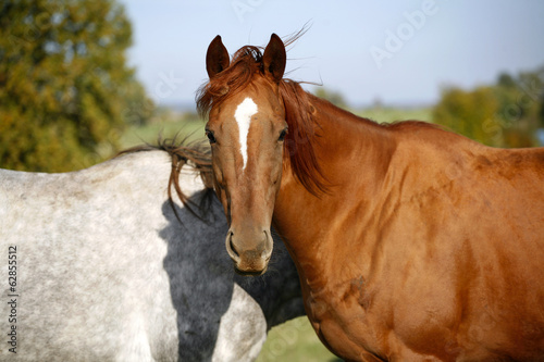 Grey and bay thoroughbred horses together in the summer meadow