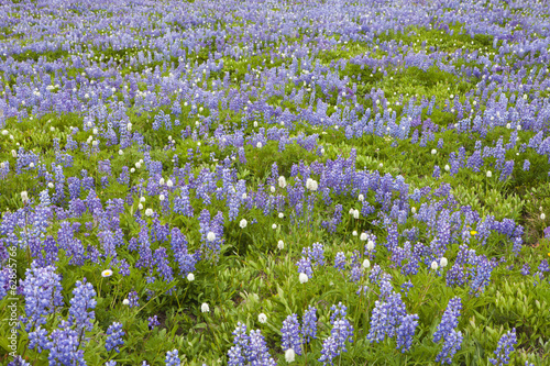 Field of blooming Lupin wildflowers