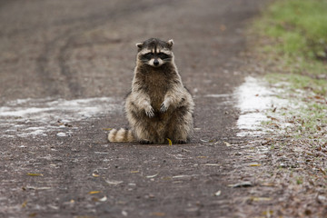 A small raccoon sitting in the road in San Juan Island, Washington