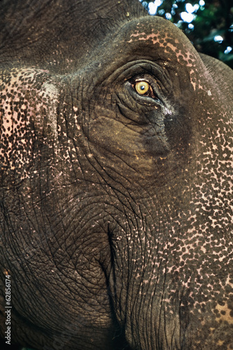 Domestic asiatic elephant face, Elephas maximus, Mudumalai Wildlife Sanctuary, Western Ghats, India