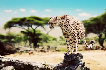 A cheetah about to attack. Safari in Serengeti, Tanzania, Africa