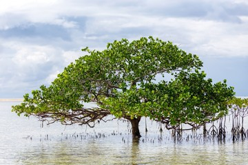 Beautiful mangrove tree growing on the seashore