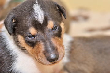 Portrait of adorable Smooth Collie puppy