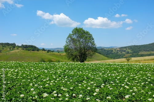 Alone Tree In A Flowered Field, Serbia