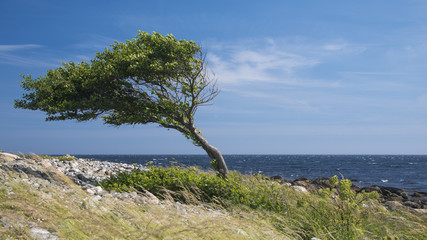 Lonely bent tree by the sea coast